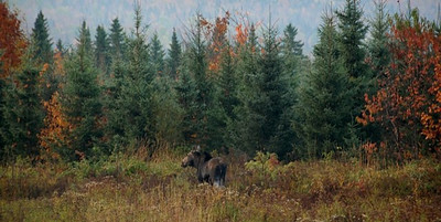 Cow moose in Pittsburg, NH. Photo by: Don Southern
