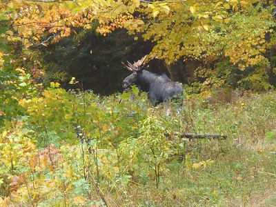 "Bull moose at ""Moose Alley"" Pittsburg NH, October 2012 Photo by Harold Chuchul"
