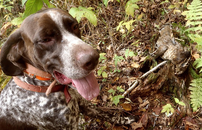 Monty's first grouse for 2012
